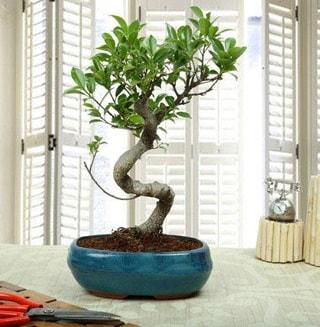 Amazing Bonsai Ficus S İthal  Sinop 14 şubat sevgililer günü çiçek