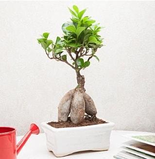 Exotic Ficus Bonsai ginseng  Sinop çiçek yolla , çiçek gönder , çiçekçi
