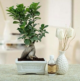 Ginseng ficus bonsai  Sinop uluslararası çiçek gönderme