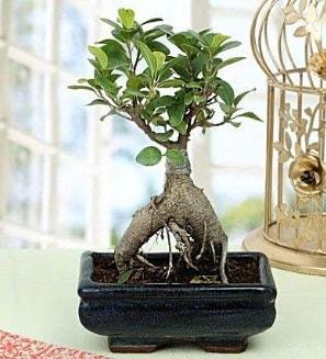 Appealing Ficus Ginseng Bonsai  Sinop güvenli kaliteli hızlı çiçek