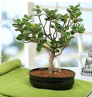 Lovely Ficus Iceland Bonsai  Sinop güvenli kaliteli hızlı çiçek