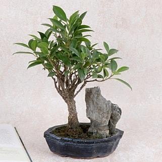 Japon ağacı Evergreen Ficus Bonsai  Sinop ucuz çiçek gönder