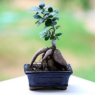 Marvellous Ficus Microcarpa ginseng bonsai  Sinop anneler günü çiçek yolla