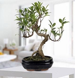 Gorgeous Ficus S shaped japon bonsai  Sinop çiçek gönderme