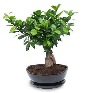 Ginseng bonsai ağacı özel ithal ürün  Sinop cicekciler , cicek siparisi