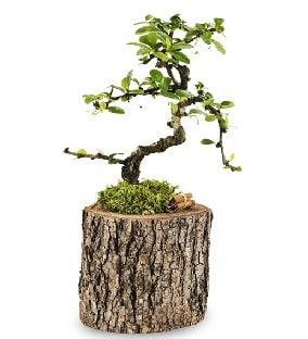 Doğal kütükte S bonsai ağacı  Sinop internetten çiçek satışı