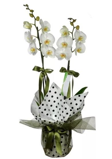 Çift Dallı Beyaz Orkide  Sinop kaliteli taze ve ucuz çiçekler