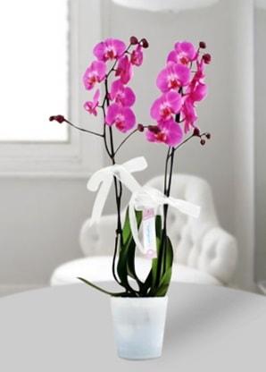 Çift dallı mor orkide  Sinop uluslararası çiçek gönderme