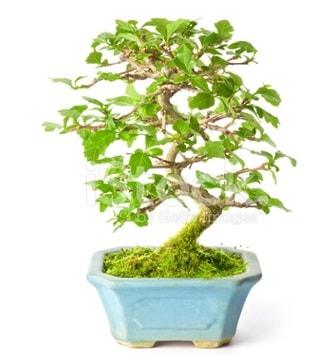 S zerkova bonsai kısa süreliğine  Sinop çiçek , çiçekçi , çiçekçilik