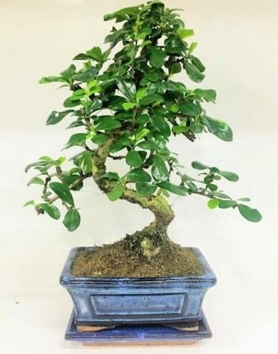 S Bonsai japon ağacı bitkisi  Sinop çiçek mağazası , çiçekçi adresleri