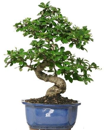 21 ile 25 cm arası özel S bonsai japon ağacı  Sinop çiçek siparişi sitesi
