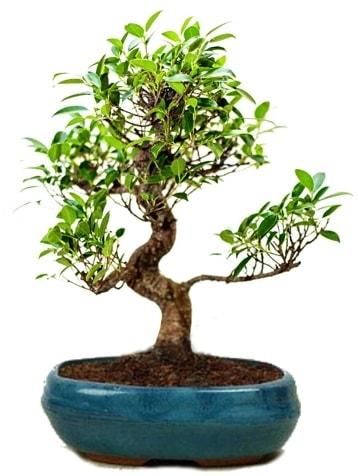 25 cm ile 30 cm aralığında Ficus S bonsai  Sinop ucuz çiçek gönder