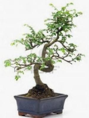 S gövde bonsai minyatür ağaç japon ağacı  Sinop internetten çiçek satışı