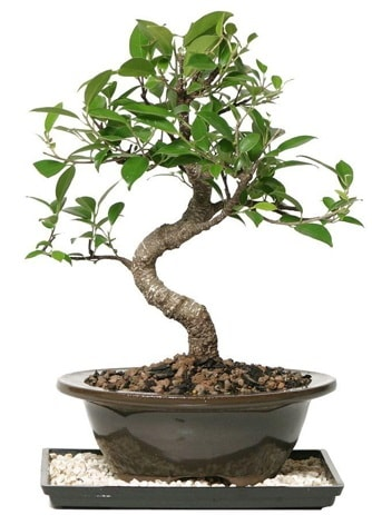 Altın kalite Ficus S bonsai  Sinop çiçek siparişi sitesi  Süper Kalite