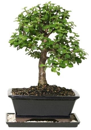 15 cm civarı Zerkova bonsai bitkisi  Sinop cicek , cicekci