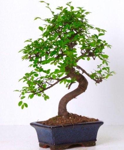 S gövdeli bonsai minyatür ağaç japon ağacı  Sinop ucuz çiçek gönder