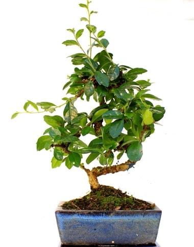 S gövdeli carmina bonsai ağacı  Sinop hediye çiçek yolla  Minyatür ağaç