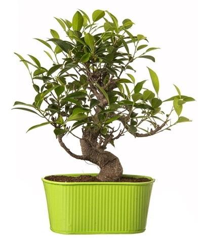 Ficus S gövdeli muhteşem bonsai  Sinop cicek , cicekci