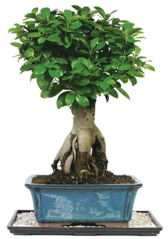 Bonsai Ginsing Grafted Ficus Bonsai  Sinop hediye çiçek yolla
