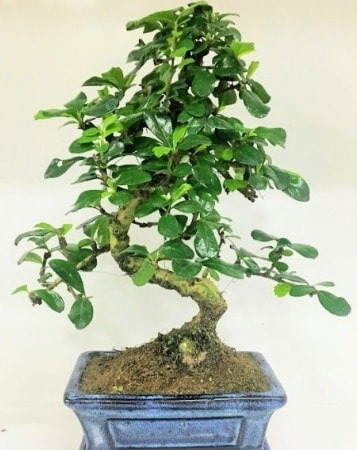 Zelkova S gövdeli Minyatür ağaç Bonzai  Sinop çiçekçi mağazası