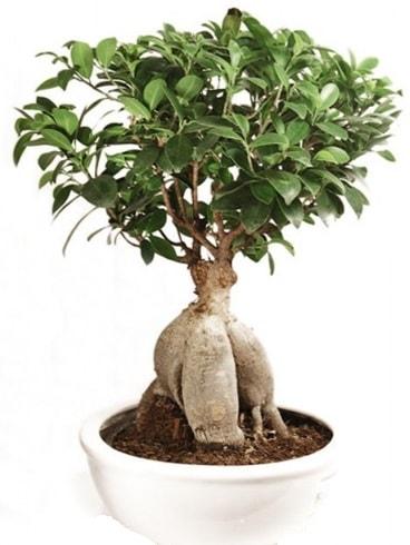 Ginseng bonsai japon ağacı ficus ginseng  Sinop çiçek , çiçekçi , çiçekçilik